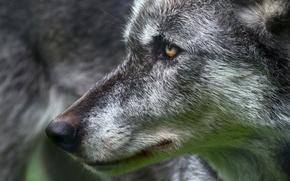Picture eyes, look, wolf, predatory
