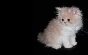 Picture kitty, black background, shaggy