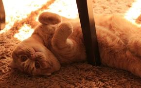 Picture sadness, eyes, cat, look, kitty, fold, kitten, cat, Tomcat, Kote, Scottish, Monya, scottish, fold
