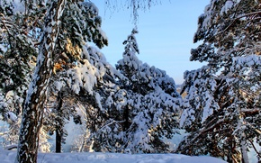 Picture winter, forest, the sky, snow, trees, spruce