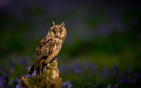 Picture flowers, nature, bird, stump, blur, Long-eared owl