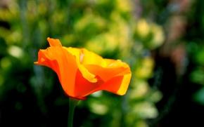Picture flowers, orange, background, widescreen, Wallpaper, blur, petals, wallpaper, bright, widescreen, background, full screen, HD wallpapers, ...