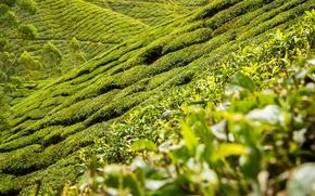 Picture landscape, nature, hills, tea, plantation