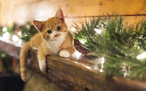 Picture look, smile, kitty, Christmas, christmas, bumps, smile, view, Kitten, cones