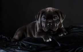 Wallpaper black, cane Corso, handsome, puppy
