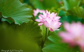 Picture leaves, flowers, pink, Lotus, Tommi Hsu