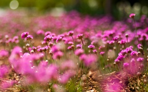Picture macro, flowers, pink, bokeh