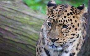 Wallpaper mustache, face, spot, leopard, leopard
