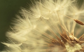 Wallpaper dandelion, microsemi
