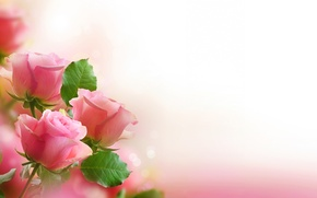 Wallpaper leaves, flowers, roses, bouquet, petals, pink