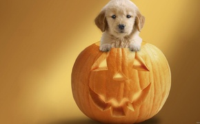 Picture small, Puppy, pumpkin
