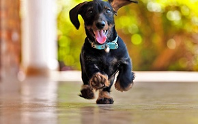 Wallpaper bokeh, joy, running, glare, Dachshund