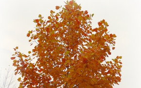 Picture autumn, background, tree