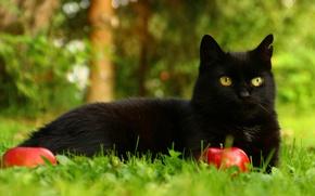 Picture greens, cat, summer, grass, eyes, cat, look, face, black, apples, portrait, garden, lies, fruit
