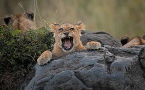 Picture face, stone, grin, cub, lion, shrub