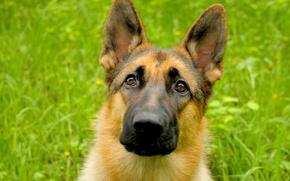 Picture devotion, dog, puppy, shepherd