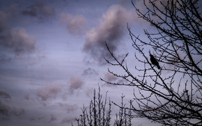Picture Clouds, Sky, Winter, Tree, Bird, Branches, Crow