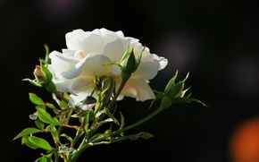 Picture flower, photo, rose, morning
