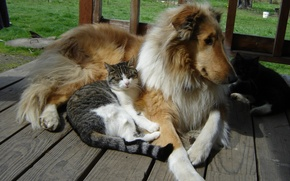 Picture dogs, cats, Collie, buddies