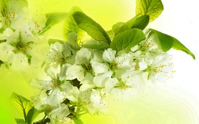 Picture leaves, flowers, branches, bright, beauty, spring, petals, white, white, Apple, flowering, flowers, Spring, beauty, petals, ...