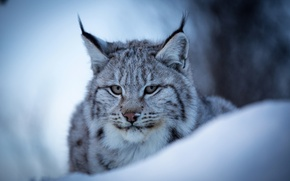Picture winter, face, snow, portrait, wild cat, Lynx, Eurasian