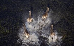 Picture animals, water, nature, swamp, plants, Zebra