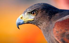 Picture bird, eagle, head, beak