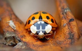 Picture ladybug, beetle, insect