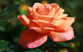 Picture flower, flowers, nature, rose, plant, morning, garden