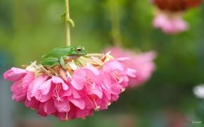 Picture macro, flowers, frog, treefrog, inflorescence, drevenica