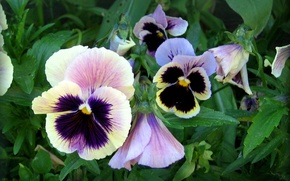 Picture greens, summer, leaves, flowers, petals, Pansy, flowerbed