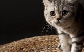 Picture mustache, kitty, striped, British, small