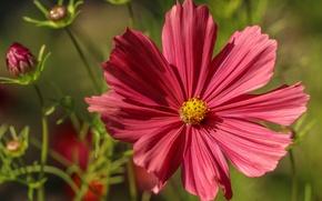 Picture macro, petals, kosmeya