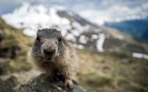 Wallpaper face, nature, marmot