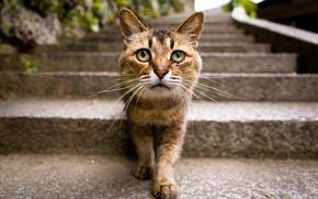Wallpaper cat, look, Kote, pug