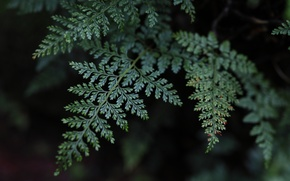 Picture greens, leaves, green, fern, sheets, Quattro, Sigma, Foveon