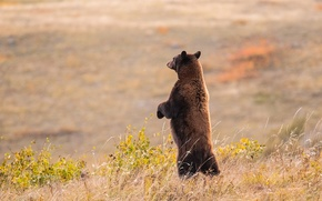 Wallpaper bear, stand, field, meadow