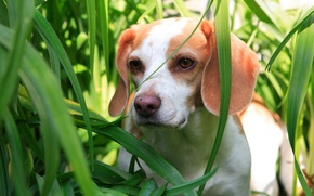 Picture green, Grass, puppy