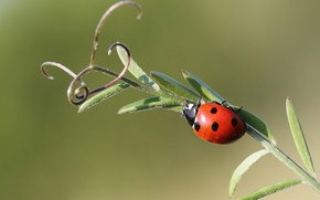 Picture ladybug, insect, antennae, a blade of grass