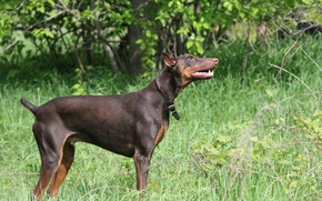 Picture grass, nature, Doberman, cable, brown, tan