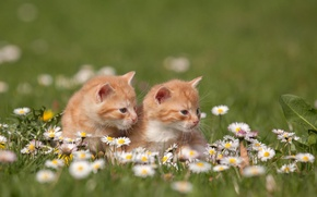 Picture grass, cats, flowers, nature, chamomile, kittens, red