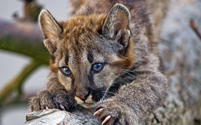 Picture portrait, baby, claws, Puma, Cougar