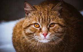 Picture cat, eyes, cat, mustache, red, Cat, brown, pussy, brown