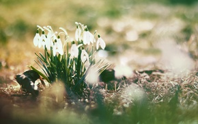 Picture flowers, the sun, glare, spring, snowdrops