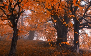 Picture autumn, forest, leaves, trees, fog, Nature, forest, falling leaves, trees, nature, autumn, leaves, fog