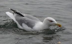 Picture sea, bird, Seagull, Akela White