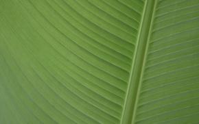 Picture banana, Leaf, banana leaf, palmengarten