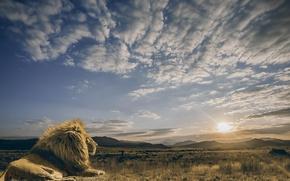 Wallpaper the sky, the sun, clouds, calm, predator, Leo, the king of beasts, Savannah