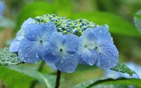 Picture drops, blur, blue, hydrangea