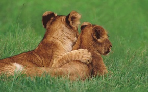 Picture grass, cats, the cubs, friends